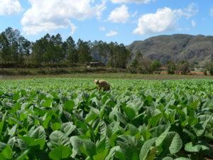 cigar-tobacco-field